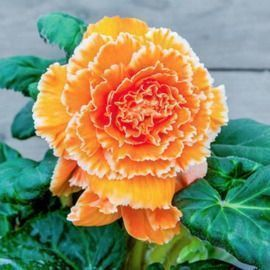 Michigan Bulb Co. - Free Lace Apricot Begonia