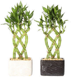 Delray Plants Live Lucky Bamboo Indoor House Plant 2-Pack